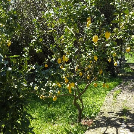 : Lemon trees